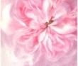 2-gardenrose-4